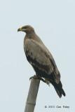 Eagle, Steppe