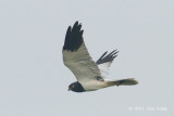 Harrier, Pied (male) @ Batang Tiga