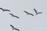 Stork, Asian Openbill @ Batang Tiga