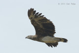 Eagle, Grey-headed Fish (subadult) @ Seletar