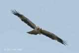 Eagle, Booted (pale morph) @ Seletar