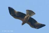 Eagle, Booted (rufous morph) @ Seletar