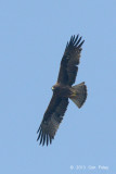 Eagle, Booted (dark morph) @ Seletar