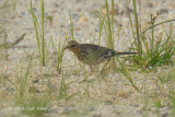 Pipit, Red-throated @ Seletar