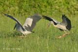 Stork, Asian Openbill @ Seletar
