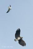 Eagle, Grey-headed @ NTL2