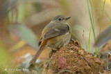Redstart, Daurian (female) @ Gardens by the Bay