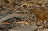 Lesser Mousedeer watching Rat Snake @ Kaeng Krachan
