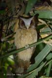Owl, White-fronted Scops @ Kaeng Krachan