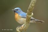 Flycatcher, Chinese Blue (male) @ Kaeng Krachan