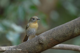 Flycatcher, Chinese Blue (female) @ Kaeng Krachan