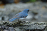 Flycatcher, Tickell's Blue (male) @ Kaeng Krachan