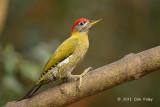 Woodpecker, Streak-breasted (male) @ Kaeng Krachan