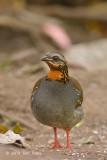 Partridge, Rufous-throated @ Mae Wong