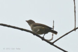 Flowerpecker, Thick-billed (juvenile)