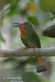 Bee-eater, Red-bearded (male sub adult)