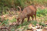 Hog Deer (male) @ Mae Wong