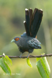Malkoha, Chestnut-bellied @ Jelutong Tower