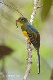 Trogon, Sumatran (male) @ Tapan Road