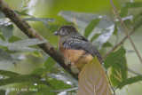 Trogon, Sumatran (juvenile) @ Tapan Road