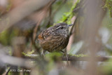 Babbler, Eye-browed Wren @ Summit Trail