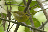 Warbler, Mountain Leaf @ Summit Trail