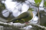Pigeon, Sumatran Green @ Tapan Road