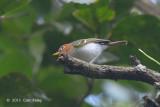Warbler, Sunda @ Summit Trail