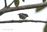 Babbler, White-browed Shrike @ Tapan Road