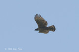 Eagle, Mountain Hawk @ Sattal