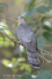 Cuckoo, Common Hawk