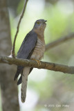 Cuckoo, Common Hawk @ Sattal
