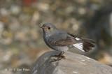 Redstart, Plumbeous Water (female) @ Sattal