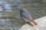 Redstart, Plumbeous Water (male) @ Sattal