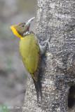 Yellownape, Greater (female) @ Sattal