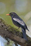 Blackbird, Grey-winged @ Pangot