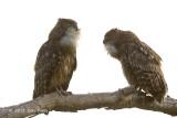Owl, Brown Fish @ Dhikala