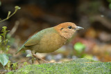 Pitta, Rusty-naped (male) @ Mae Wong