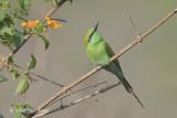 Bee-eater, Green @ Dhikala