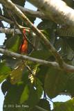 Minivet, Fiery (male)