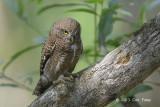 Owlet, Asian Barred @ Kaziranga