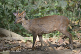 Muntjac, Indian (male) @ Corbett