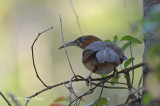 Babbler, Rusty-cheeked Scimitar @ Dhikala