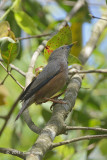 Starling, Chestnut-tailed @ Dhikala