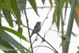 Flycatcher, Red-throated @ Deering Tea Estate