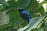 Bluebird, Asian-Fairy (male)