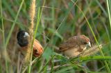 Munia, Black-headed (adult & juvenile)