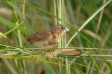 Munia, Black-headed (juvenile)