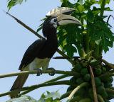Hornbill, Oriental Pied (male) @ Sukau B&B