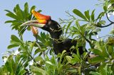 Hornbill, Rhinoceros (female)